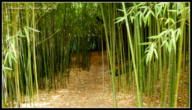 "Bamboo ""forest"""
