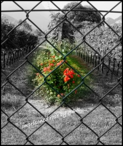 imprisoned rose