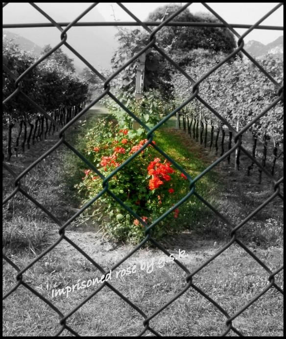 imprisoned rose