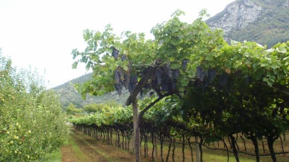 original grapes