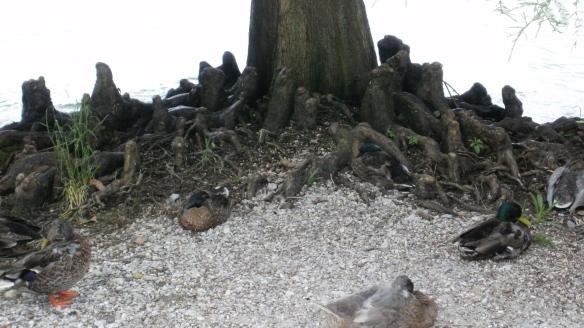 ducks under a tree