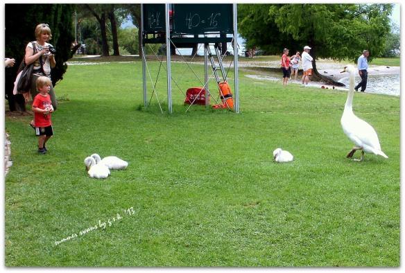 summer swans