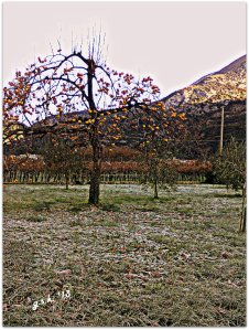 persimmons and frost