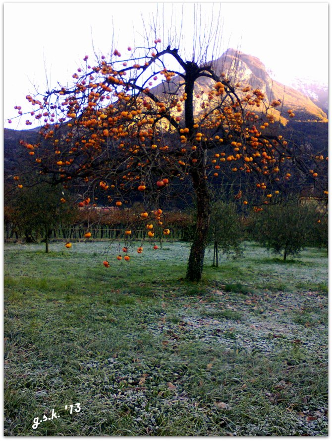 Persimmons and Frost: Nokia 202 phone - 1200x1600 pixels elaborated with Picasa 3
