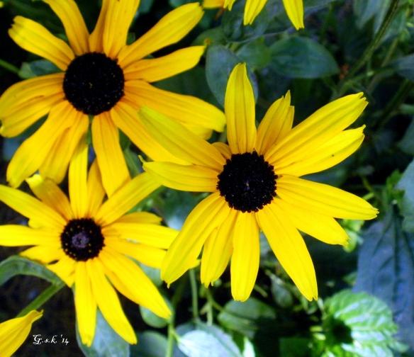 sunroot flowers