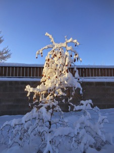 Jujube Tree after the snowstorm