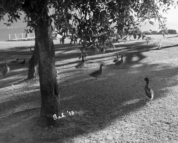 shaded Ducks