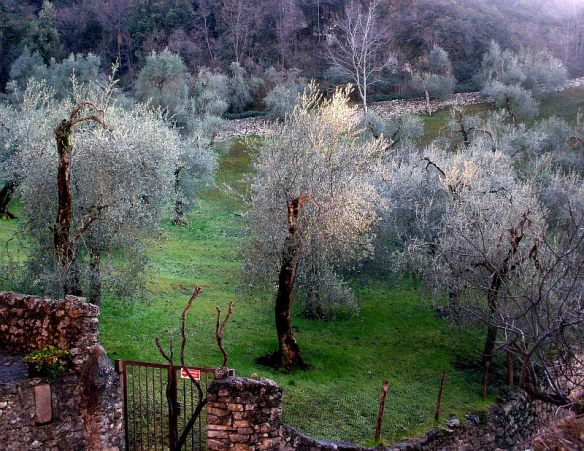 Olive Grove in Campo