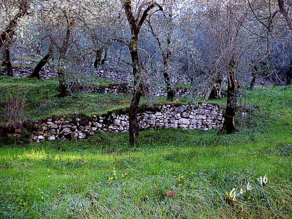 Hill-side olive grove