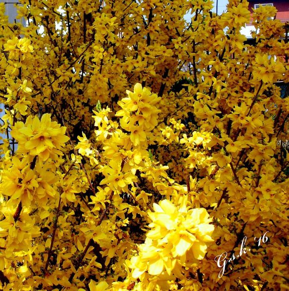 broom flowers