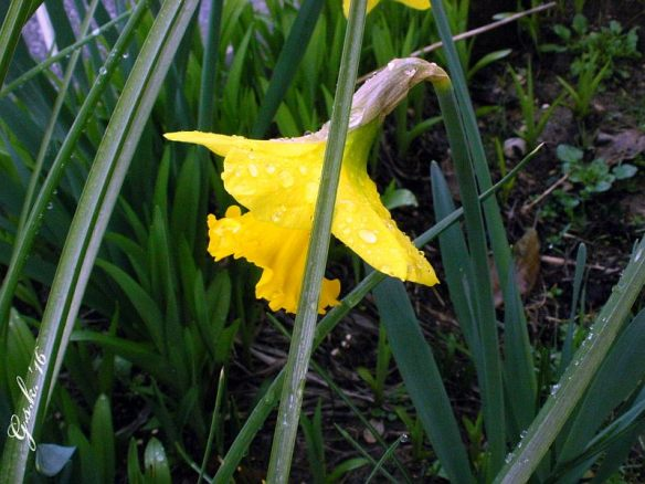 wet daffodil