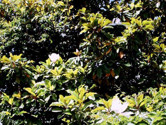 Magnolia Blossoms - June 2, 2014